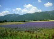 Lavendel fields